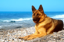 Close Up Portrait Of German Shepherd On The Sunny Pebble Beach Of Mediterranean Sea. Copy Space For Text.