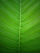 Organic texture background, Closeup green leaf texture background