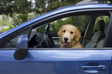 Golden Retriever Puppy Driving...