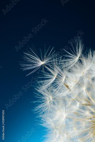 nasiona-mniszka-odlatuja
