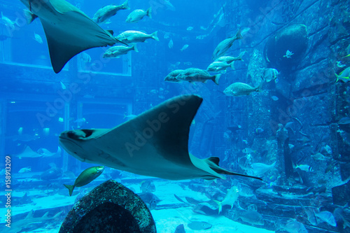 Manta ray in Lost Chambers aquarium inside Atlantis hotel on Palm Jumeirah, Duba Canvas Print