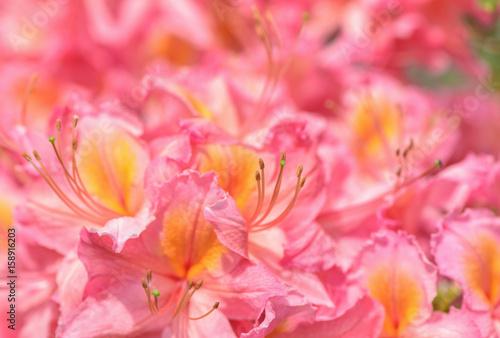 Zdjęcie XXL Kwiat Azalia zamknięty. Piękno jaskrawy naturalny czerwieni i menchii tło.