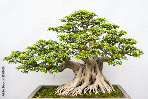 Exotic bonsai trees cultivated for decoration
