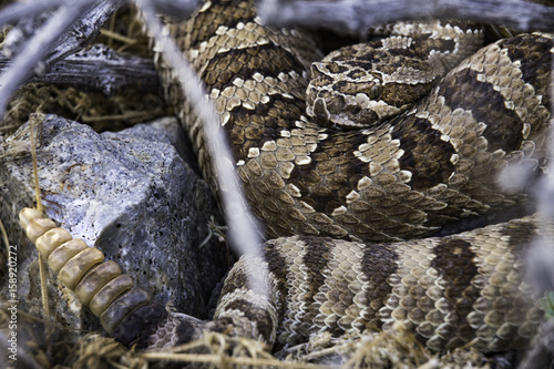 Western Diamondback Rattlesnake coiled in a bush next to a