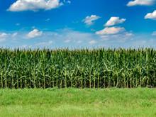 Texas Corn Field