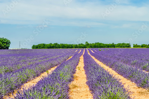 Fotobehang Lavendel Lavande.