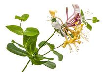 Flowers Of Honeysuckle, Lat. L...