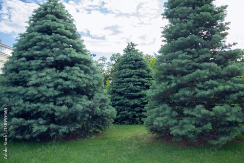 Photo Three Abies concolor on a green grass