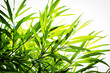 Bamboo plants background