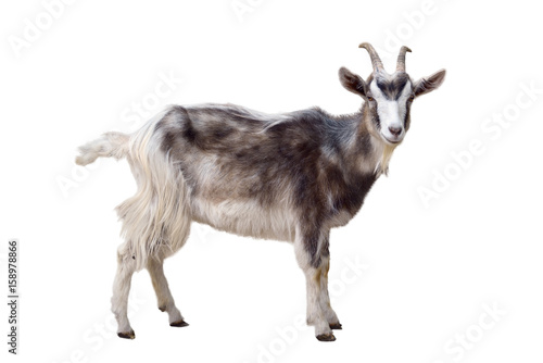 Motley goat isolated