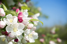 Apple Blossom Flower And Buds