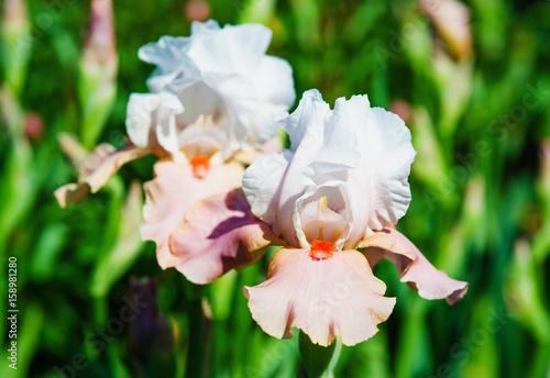 Beautiful australian bearded iris bloom closeup