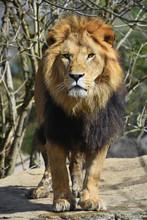 Close Up Portrait Of Lion Look...