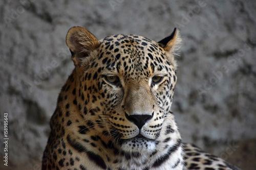 Close up portrait of Amur leopard over rocks