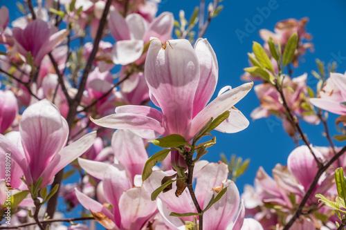 Obrazy Magnolie  kwitnaca-magnolia-na-tle-blekitnego-nieba