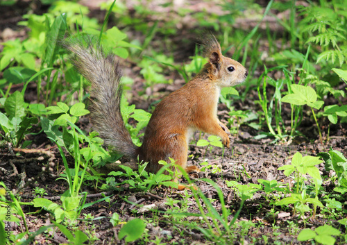 Aluminium Prints Squirrel The red park squirrel in spring looks for places where it hid food.