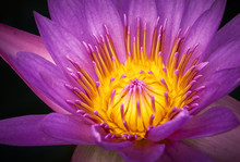 Close-up View Of Purple Water Lilly