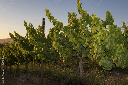 Fotografie, Obraz  Grape vines at vineyard during sunrise at California winery
