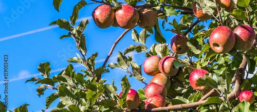 Macieira com maçãs.