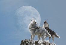 A Pair Of Wolves Singing Their...