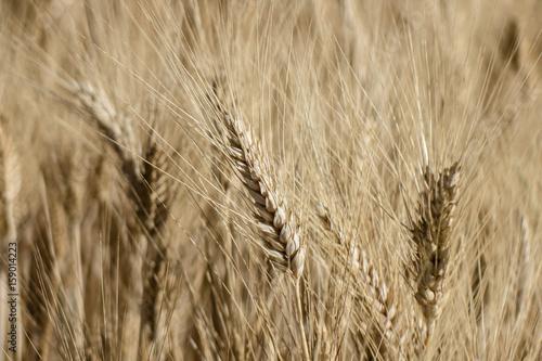 Fotografie, Obraz  spighe di grano giallo