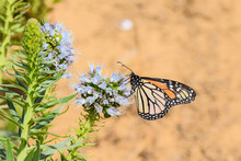 Large Monarch Butterfly Collec...
