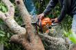 Leinwanddruck Bild - Lumberjack sawing a chainsaw on mango tree.