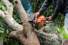 Lumberjack Sawing A Chainsaw On Mango Tree.