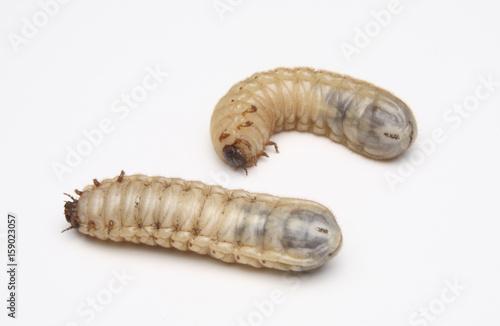 Fotografía Figeater Beetle Grub (Cotinis mutabilis)