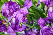 Beautiful violet flowers close-up sunny day