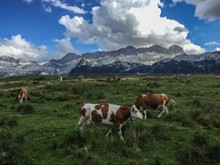Cows In The Julian Alps (Montasio Plateau, Italy)