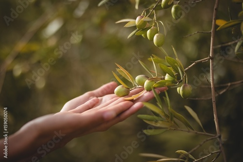 Keuken foto achterwand Olijfboom Hands of woman touching olive tree at farm