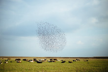Cows And Horses Staring In A Field With Bunch Of Birds On The Sky