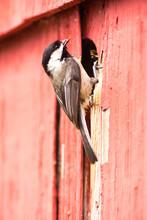 Black-capped Chickadee Bird Pe...