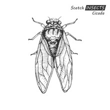 Hand Drawn Cicada