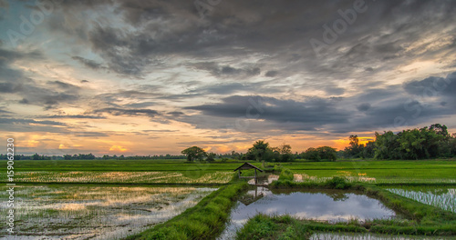 Fototapeta Beautiful view of rice paddy field during sunset in Thailnad. Nature composition obraz na płótnie