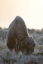 A Lone Bison On A Frosty Fall ...