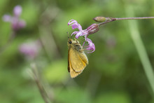 Small Skipper Butterfly (thyme...