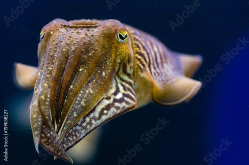 Obraz na plátně  Cuttlefish