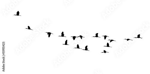 Cuadros en Lienzo Glossy ibis (Plegadis falcinellus) wedge in flight