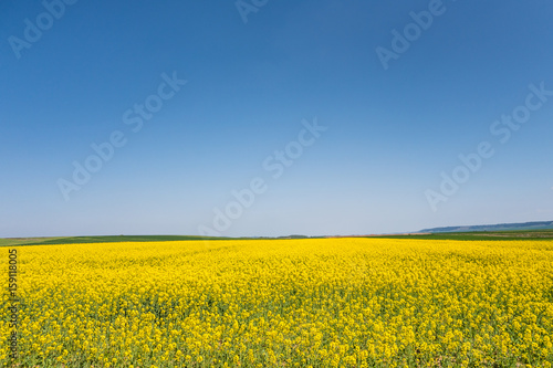 Fotografija  Yellow field of rapeseed in bloom