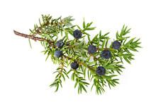 Juniper Twig With Berries