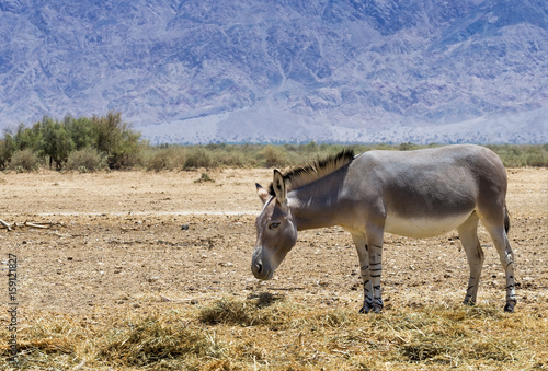 Deurstickers Ezel Somali wild donkey (Equus africanus). This species is extremely rare both in nature and in captivity. Nowadays it inhabits nature reserve near Eilat, Israel
