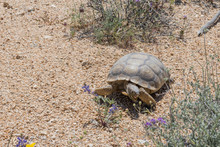 Desert Tortoise Crosses Brush ...