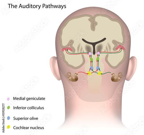 Photo The auditory pathways