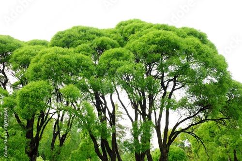 Papiers peints Arbre Beautiful green trees in the Park