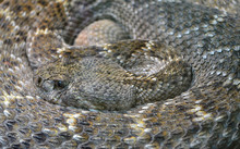 Rattlesnake/Close Up Of Diamondback Rattlesnake
