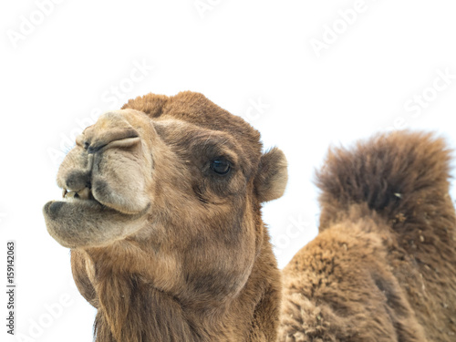 Spoed Foto op Canvas Kameel Two-humped camel (Camelus bactrianus) with funny expression isolated on white background