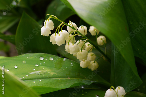 Staande foto Lelietje van dalen Lily of the valley, spring flowers with a beautiful aroma.
