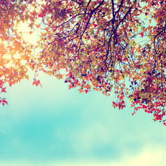 FototapetaBeautiful autumn leaves and sky background in fall season, Colorful maple foliage tree in the autumn park, Autumn trees Leaves in vintage color tone.